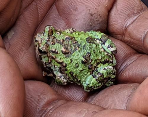 Marabled-Rain-Frog