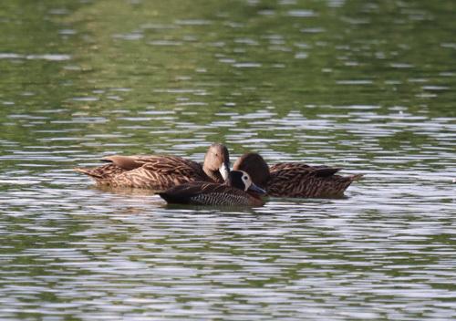 Mellers-Duck