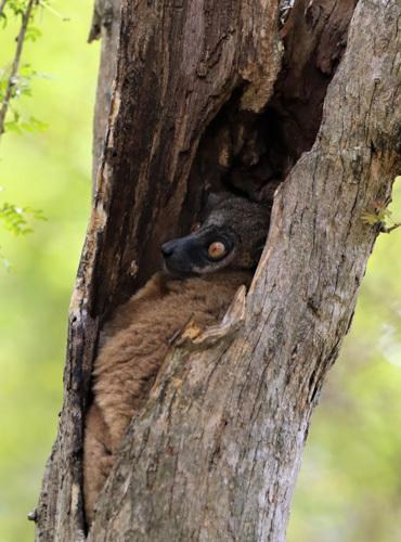 Sportif-Lemur