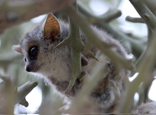 gray-brown-mouse-lemur-day