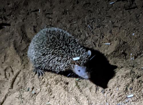 lesser-hedgehog-tenrec