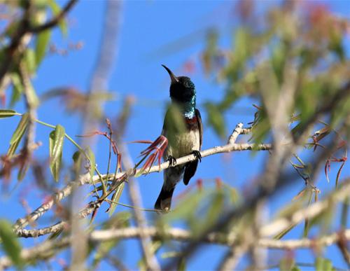 souimanga-sunbird