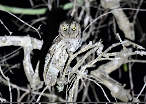 torotoroka-scops-owl