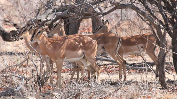 black-faced-impala
