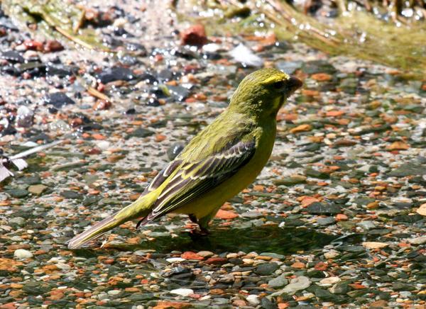 bully-canary