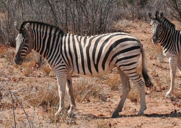burchells-zebra