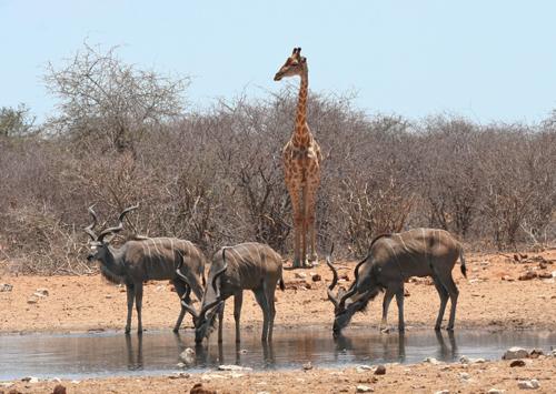 giraffe-kudu