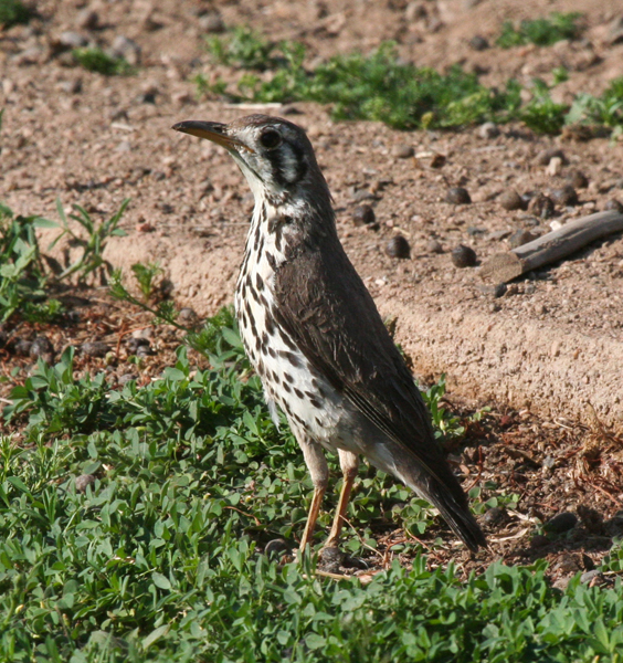 groundscraper-thrush