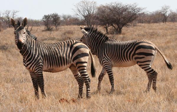 hartmans-zebra