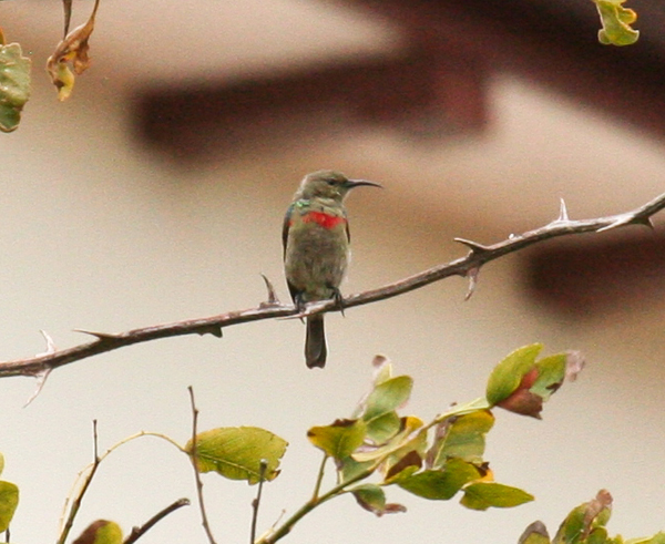 lesser-collared-sunbird