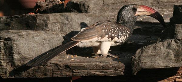 monterors-hornbill