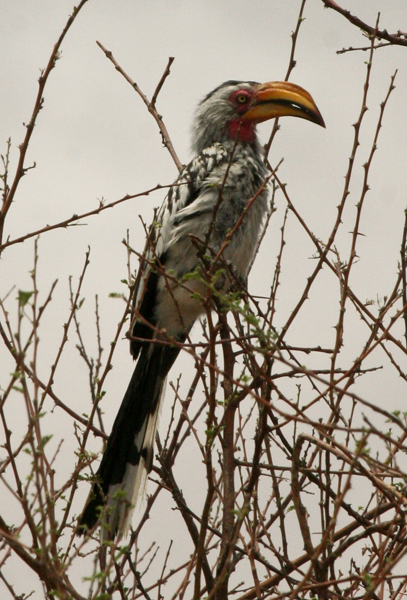 so-yellow-billed-hornbill