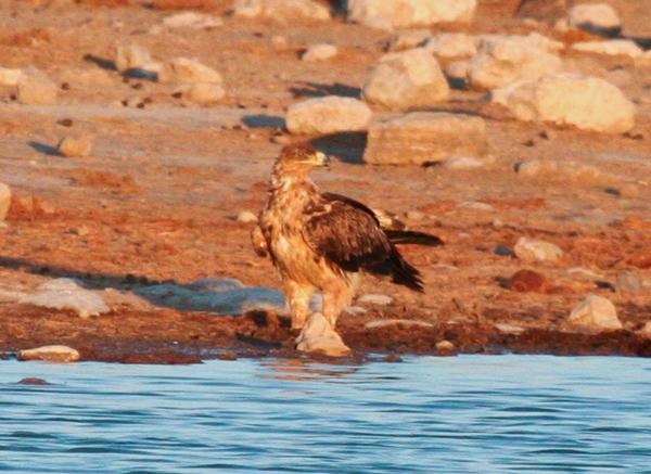 tawny-eagle