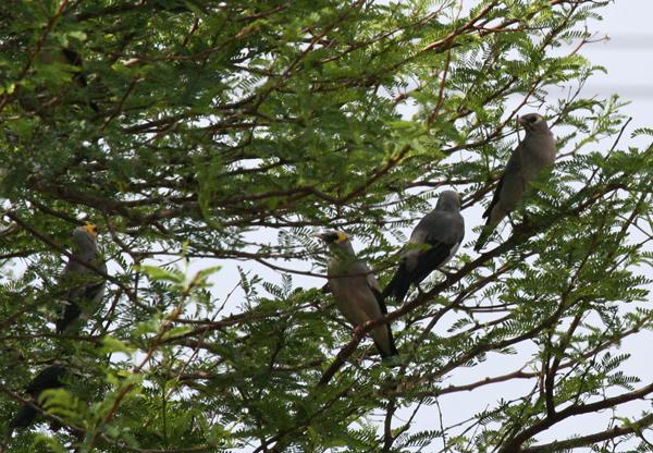 wattled-starlings