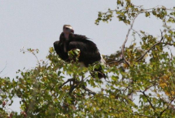 white-headed-vulture