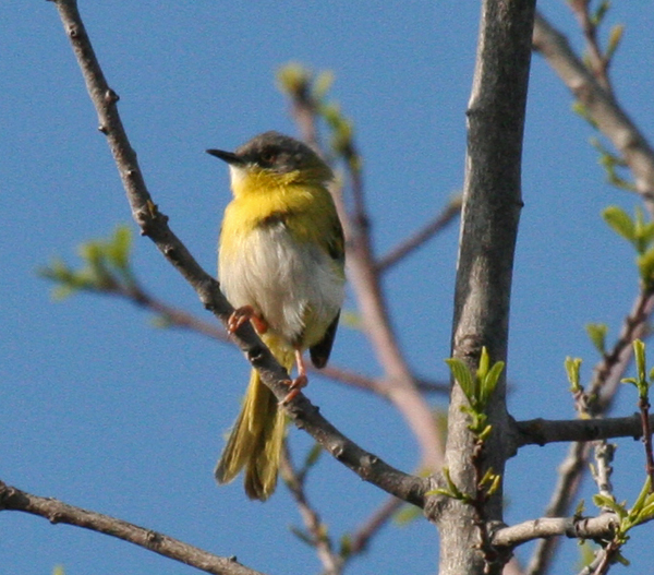 yellow-breasted-apalis