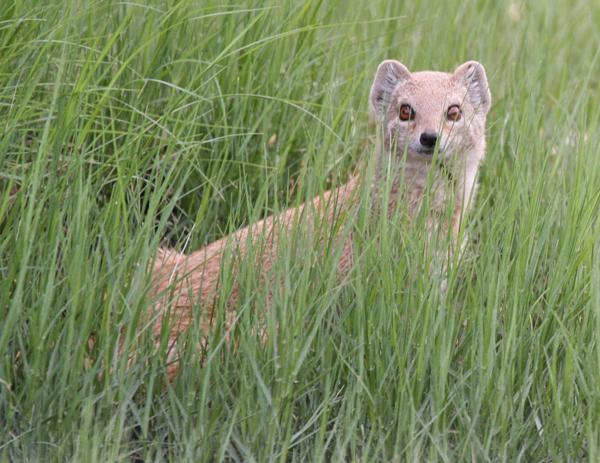 yellow-mongoose