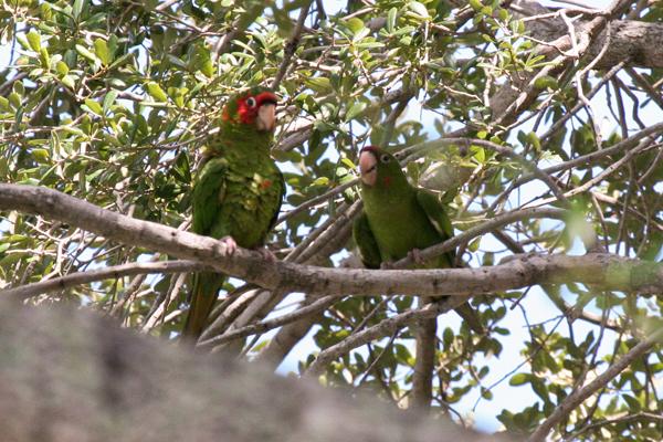 mitered-parakeets