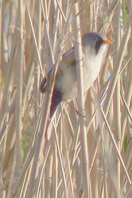 bearded-reedling
