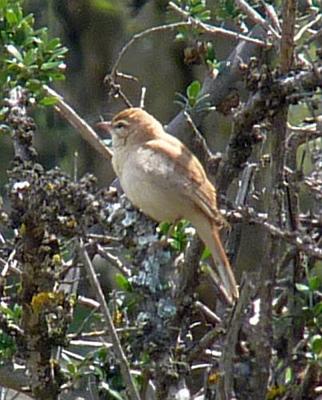 rufous-tailed-scrub-robin