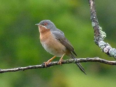 subalpine-warbler
