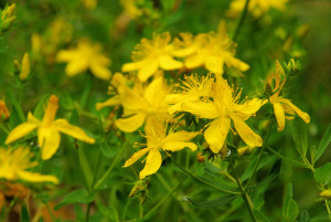 st johns wort is helpful in balancing neurotransmitters