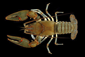 Big Sandy Crayfish