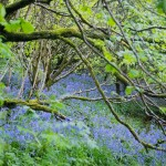 Bluebells,2007-Glenarif Forest Park-Co. Antrim_edited