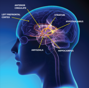 Components of the brain limbic system