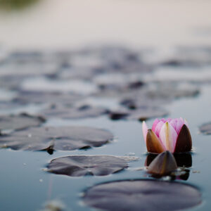 Lotus Blossom on Pond