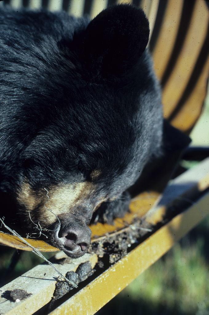 Black Bear In Trap-001