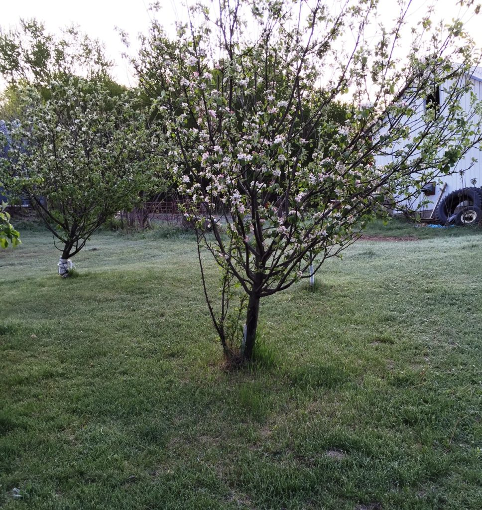 Our apples trees in full bloom took a major frost on May 15.