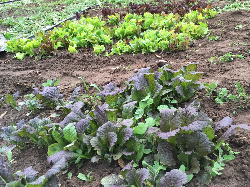 Lettuce and other cold weather crops are doing well in the new garden.