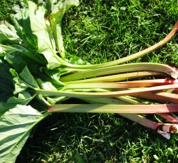 Make rhubarb sauce from these fresh stalks.
