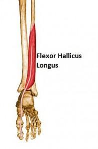 FHL Anatomy