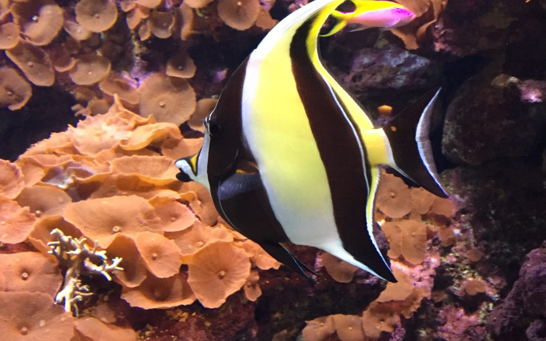 maintain a reef aquarium moorish idol Zanclus cornutus