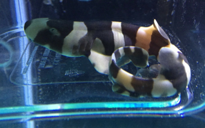 Bruce, The Brown Banded Bamboo Shark