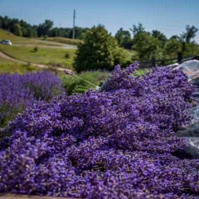 lavendar (12 of 21)