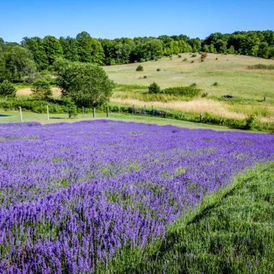 lavendar (14 of 21) (1)