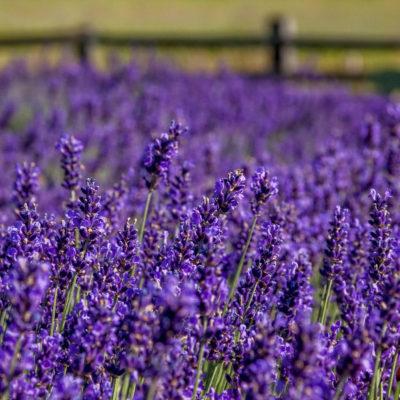 lavender (7 of 17)