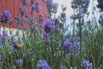 Lavender Pruning