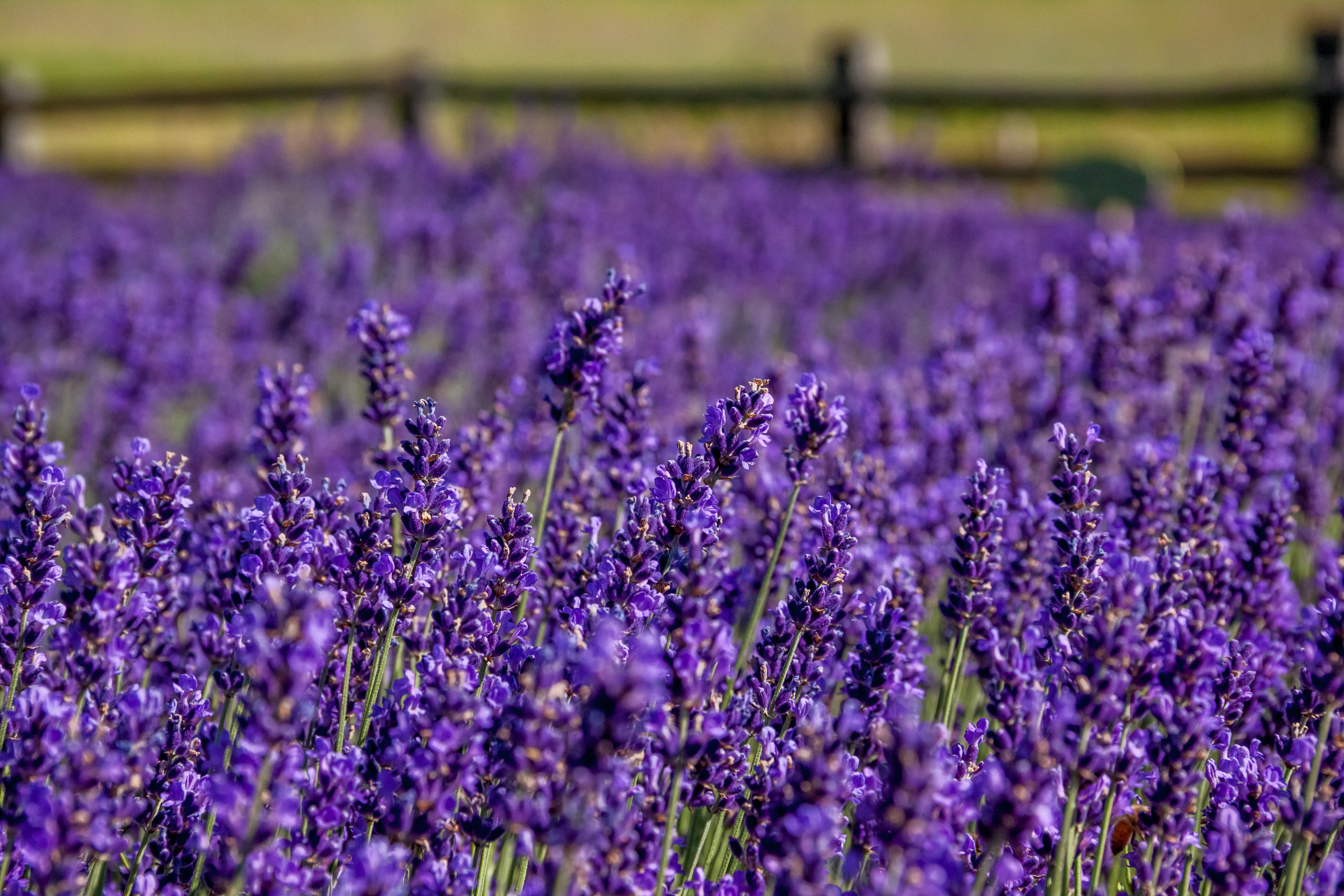 Minivan Adventures Article- A Visit to Lavender Hill Farm