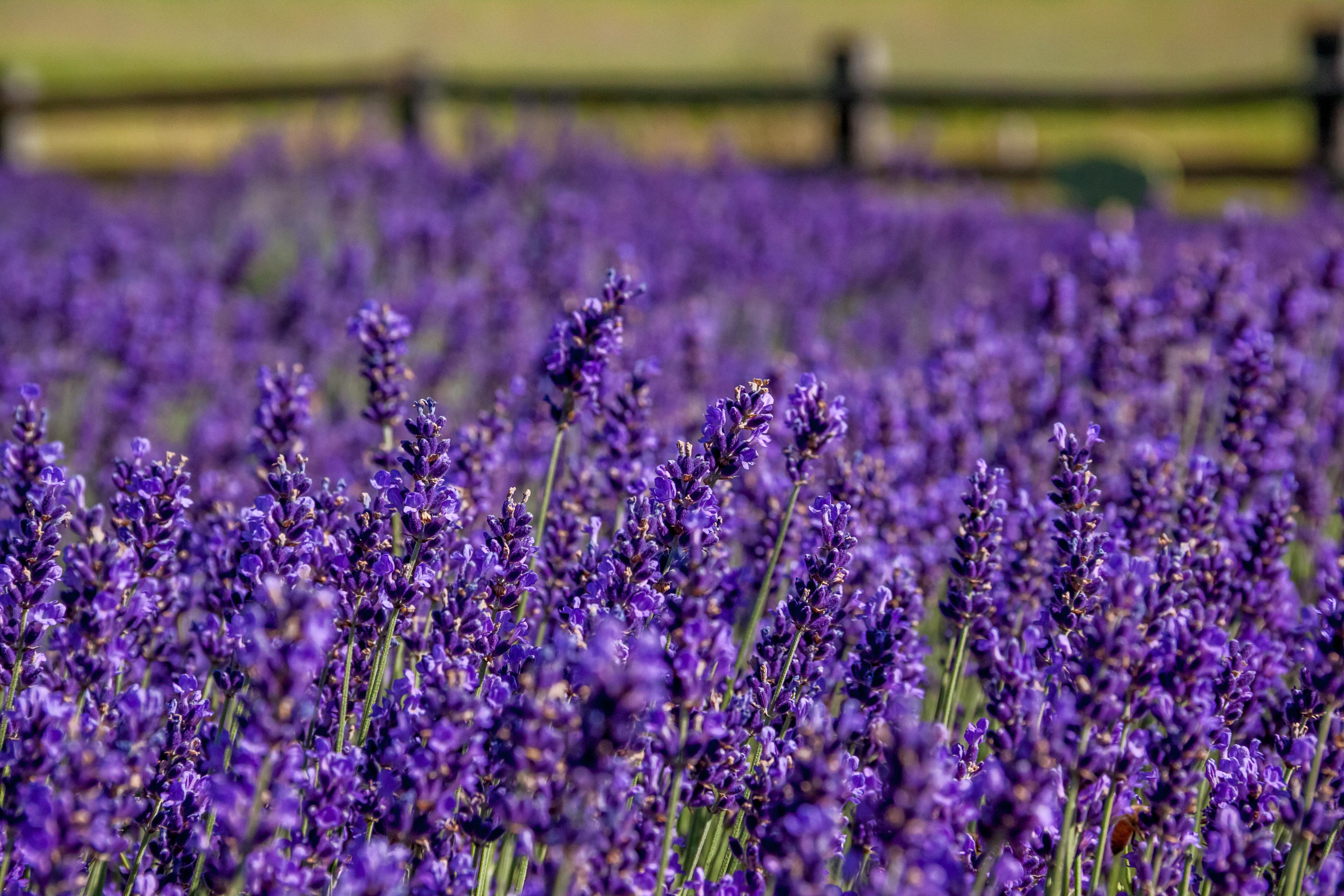 Minivan Adventures Article- A Visit to Lavender Hill Farm