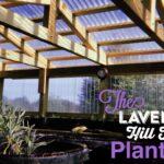 Lavender Plant Sale & Curbside Pickup