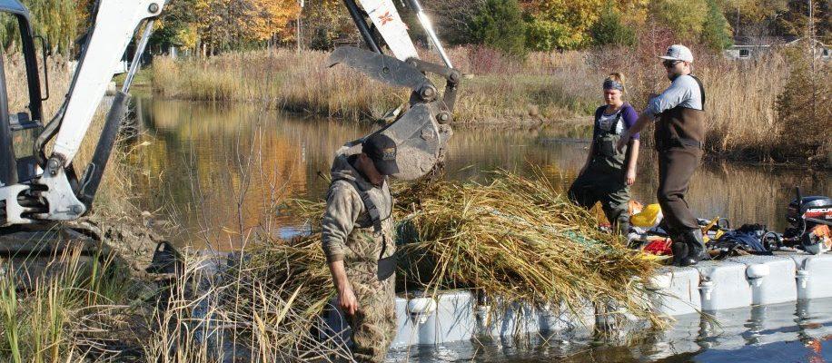 Ducks Unlimited helping limit spread of phragmites