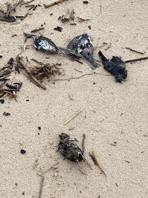 Dead fowl along the shoreline