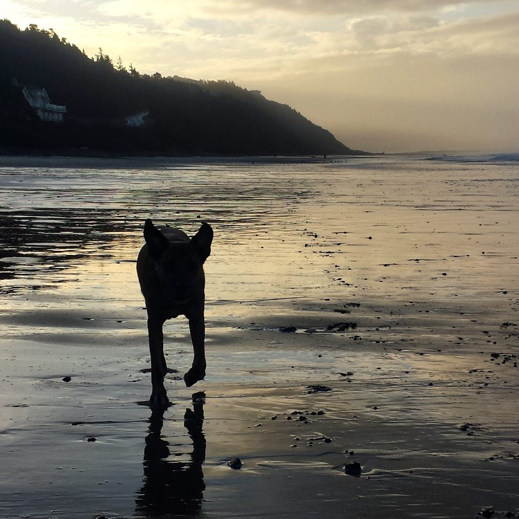 Dog sillohette runs towards camera on the ocean beach. Sunset, muted greys and steele blues, color the sky, bsand and water.