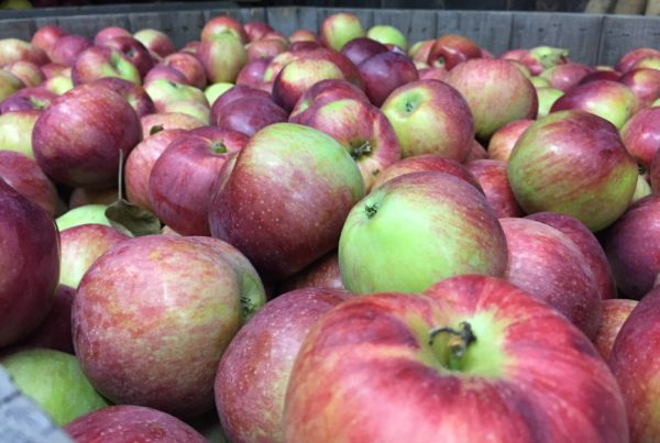 Apples from Windy Ridge Orchard