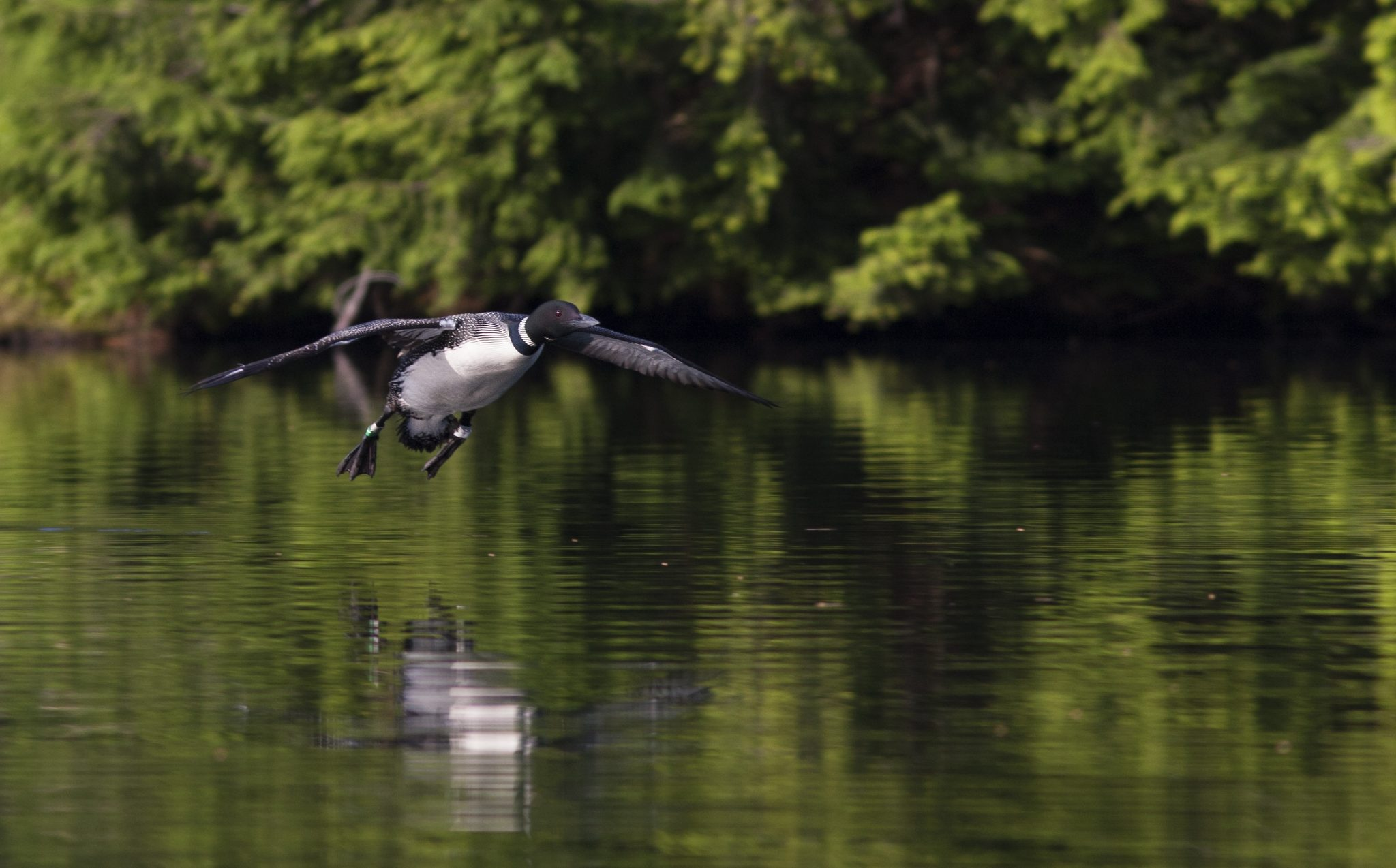 A black and white loon takes flight from a calm body of water.