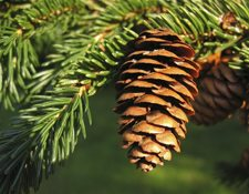 A close up photo of a sprig of a spruce tree with a pine cone.